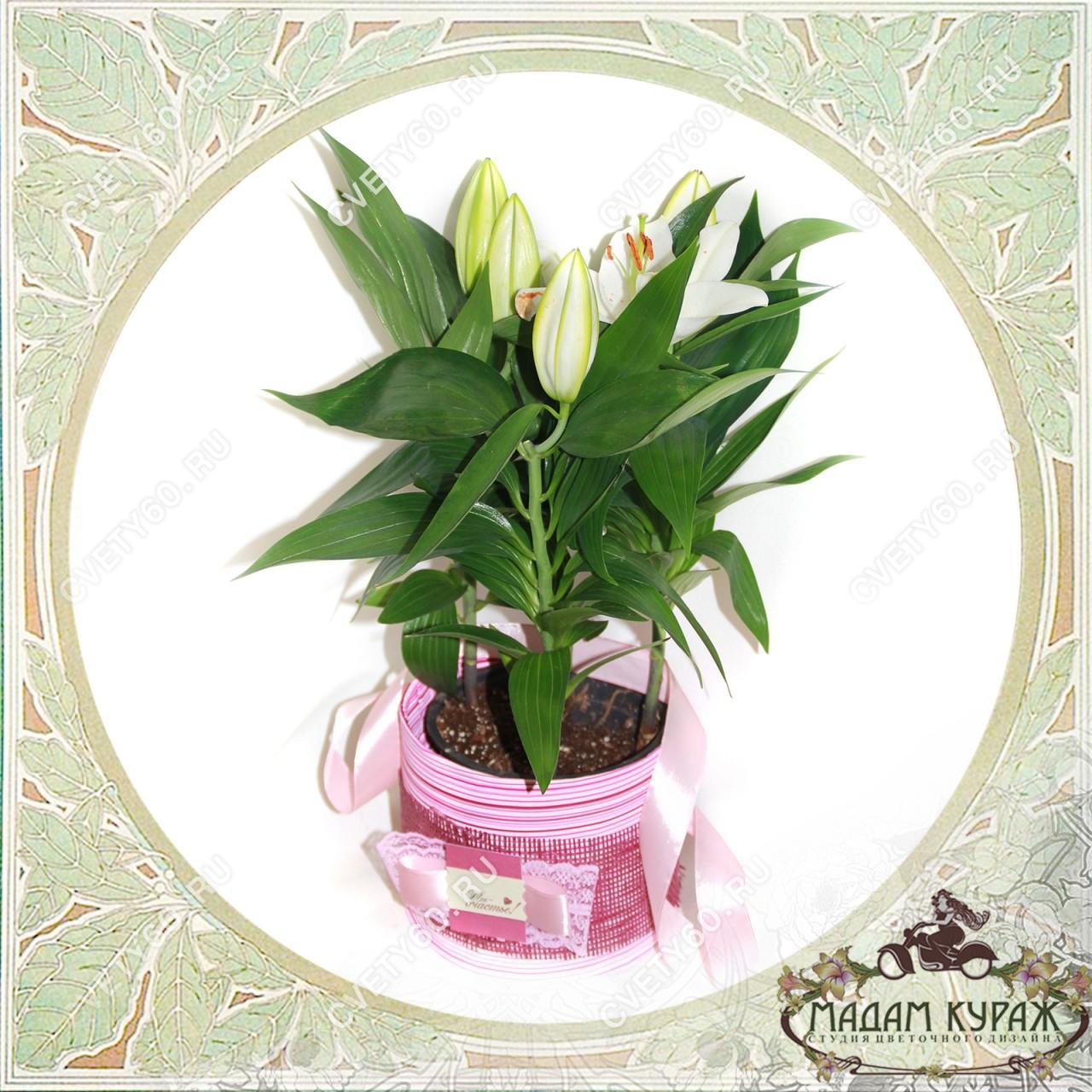 Цветущие комнатные цветы в подарок в Пскове Открытка
