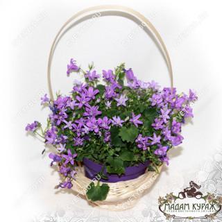 Цветущие комнатные растения в подарок в Пскове. в Пскове