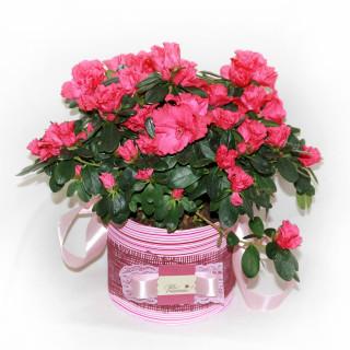 Цветущие комнатные растения в подарок в Пскове в Пскове
