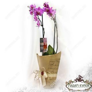 Дуэт орхидей Псков