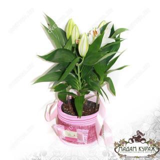 Цветущие комнатные цветы в подарок в Пскове