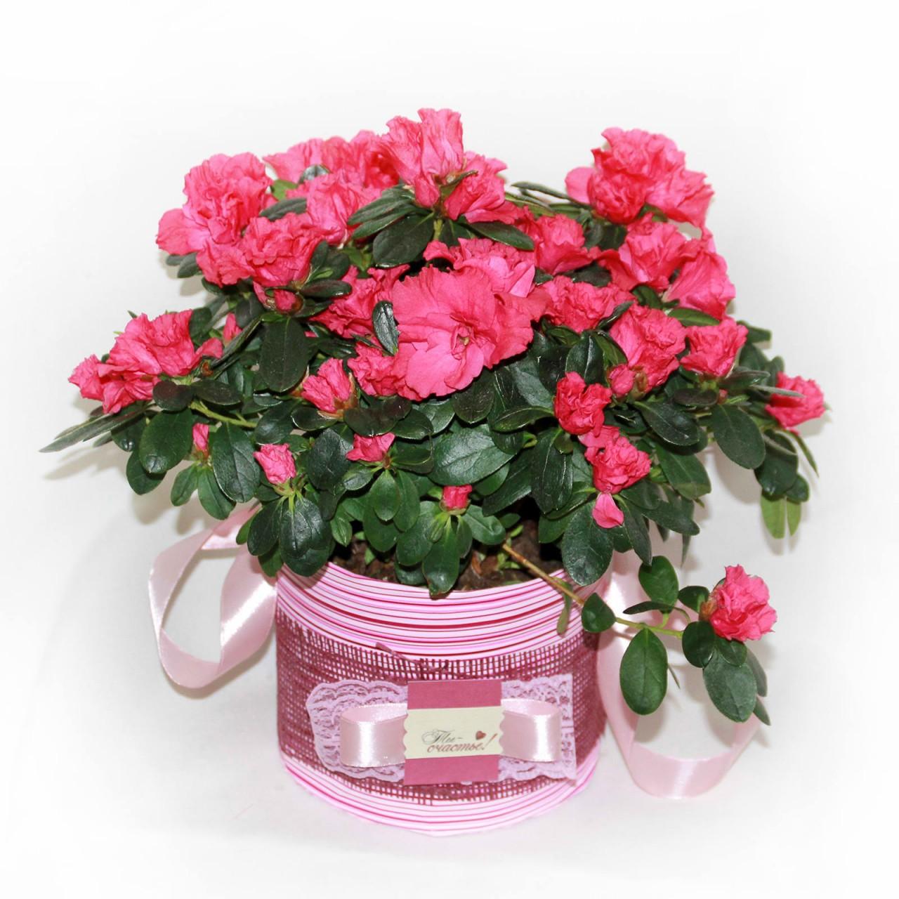 Цветущие комнатные растения в подарок в Пскове